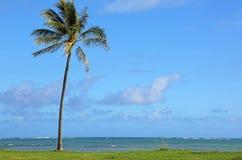 偏僻的棕榈树在Kualoa地方公园 库存图片