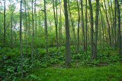偏僻的森林 免版税库存照片