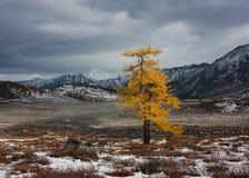 偏僻的落叶松属在秋天 库存图片
