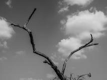偏僻的死的树在清楚的天空下在晴天 库存照片