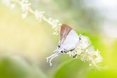 偏僻的butterfly& x28; 苍白盛大Imperial& x29;在花的步行,在绿色背景 复制空间 免版税库存图片
