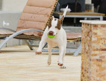 做一个愉快的舞蹈的狗 库存图片