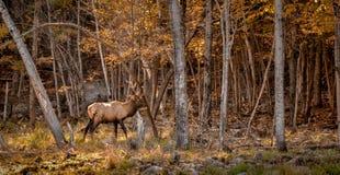 做一个标记的马鹿在森林 库存照片