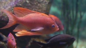 做一个滑稽的被震惊的表示,鱼传播的飞翅的一条五颜六色的橙色丽鱼科鱼鱼的特写镜头 股票视频