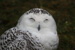 做一张滑稽的面孔的一头多雪的猫头鹰的热闹的画象照片 免版税图库摄影