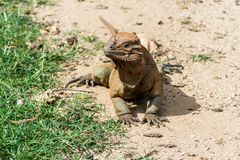 做准备在沙子的犀牛鬣鳞蜥 免版税库存照片
