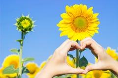 做在向日葵的领域的手心脏标志 库存图片