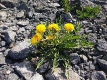 做它的方式的开花的蒲公英灌木通过石头 免版税库存图片