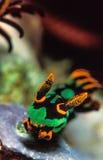 做它的横跨礁石的橙色和绿色nudibranch方式 库存照片
