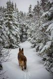 做新鲜的道路的德国牧羊犬狗下来落后 库存图片