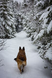 做新鲜的道路的德国牧羊犬狗下来落后 库存照片
