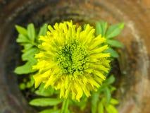 做样式的黄色万寿菊花 免版税库存照片