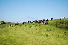 做牛奶的牛 免版税库存照片