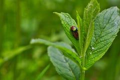做瓢虫夫妇的爱的滑稽的图象在春天森林 免版税库存图片