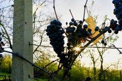 做的冰酒葡萄-这个葡萄排序在冬天霜特写镜头之后被收获 库存照片