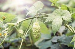 做的啤酒和面包绿色新鲜的啤酒花球果树 库存照片