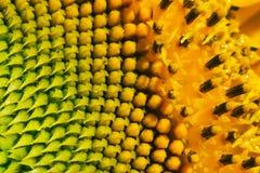 09 20做种子主题向日葵年 库存图片