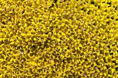09 20做种子主题向日葵年 花冠 库存图片