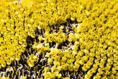 09 20做种子主题向日葵年 花冠 免版税图库摄影