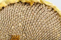 09 20做种子主题向日葵年 图库摄影