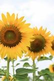 09 20做种子主题向日葵年 免版税库存图片