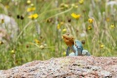 做联接的显示的抓住衣领口的蜥蜴 库存图片