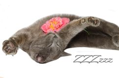 做舒展的猫 库存图片