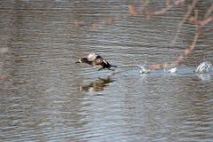 做逃走的母秋沙鸭 免版税库存图片