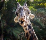 做面孔的长颈鹿 库存照片