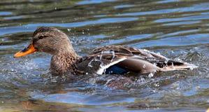做飞溅的母野鸭鸭子 库存图片