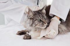做绷带的狩医在灰色猫 免版税库存图片