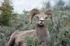 做滑稽的面孔的大角野绵羊在黄石国家公园 库存照片
