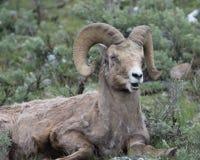 做滑稽的面孔的大角野绵羊在黄石国家公园 免版税图库摄影