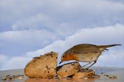 做质量管理的美丽的知更鸟 库存图片