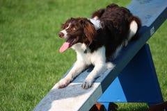 做ag的逗人喜爱的红色和白色西班牙猎狗大牧羊犬十字架宠物工作犬 图库摄影