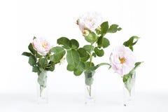 停放在花瓶的桃红色玫瑰在黑暗的背景 库存图片