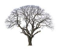 停止和干燥结构树 免版税图库摄影