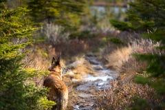 停止在足迹和看对边的德国牧羊犬狗 免版税图库摄影