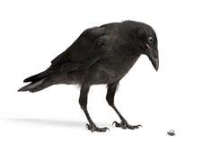 停止的乌鸦下来飞行查找 免版税库存图片