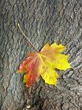 停止的叶子槭树 免版税库存照片