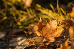 停止的叶子槭树 免版税图库摄影
