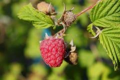 停止的叶子莓枝杈 免版税库存照片