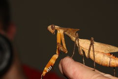 停止的叶子螳螂 库存图片