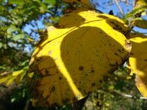 停止的叶子黄色 免版税图库摄影