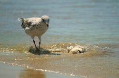 停止的吃鱼海鸥 库存照片