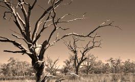 停止的天旱老结构树 免版税库存图片