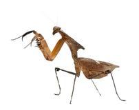 停止的巨型叶子螳螂副常设查阅 免版税库存图片
