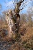 停止的干结构树 免版税库存图片