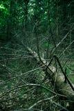 停止的杉树树干 免版税图库摄影