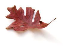 停止的查出的叶子橡木 免版税库存照片
